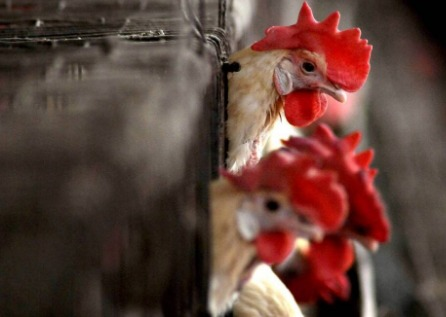 Bird flu effect: Sale of chicken, egg-based food items banned at restaurants in parts of Delhi